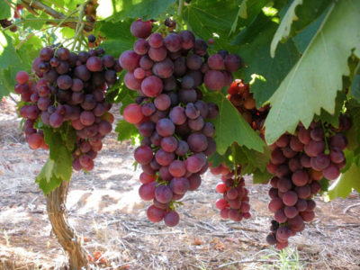 Fresh-Grapes-Picture-2